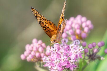 Variegated Fritillary butterfly Euptoieta claudia feeding on meadow wildflowers in Maryland during the Summer Standard-Bild - 129250310