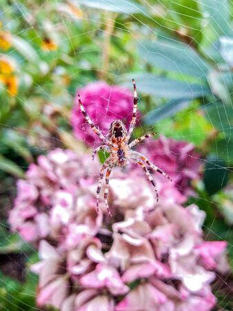 European garden spider Araneus diadematus resting in her web in Cambridgeshire, England