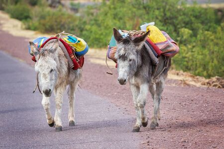 Donkeys Equus africanus asinus walking along a road near Huacarpay Lake in Cusco, Peru 版權商用圖片