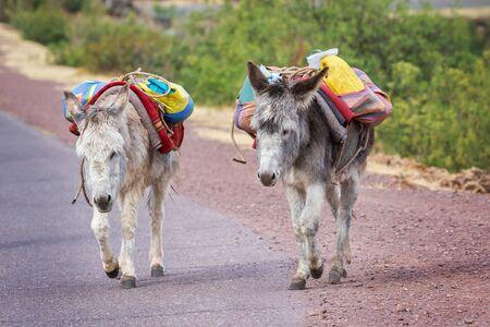 Donkeys Equus africanus asinus walking along a road near Huacarpay Lake in Cusco, Peru Stock Photo