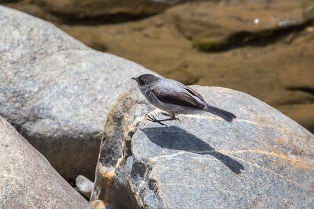 Torrent Tyrannulet bird Serpophaga cinerea hopping off a rock in Paucartambo, Peru