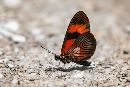 Gaudy Altinote butterfly Altinote negra puddling for minerals in Manu National Park, Peru