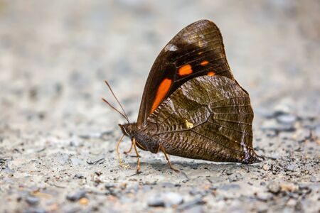 White-spot Falcon butterfly Corades medeba puddling for minerals in Manu National Park, Peru