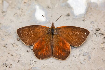 Rusty Mountain Satyr butterfly Lymanopoda ferruginosa puddling for minerals in Manu National Park, Peru