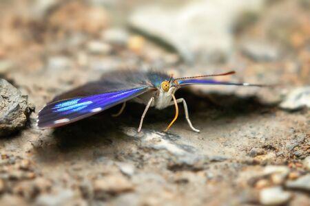 Royal Perisama butterfly Perisama calamis puddling for minerals in Manu National Park, Peru 版權商用圖片