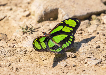 Dido Longwing butterfly Philaethria dido puddling for minerals in Manu National Park, Peru