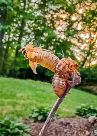 Great Eastern Brood of Periodical Cicada Brood X or Brood 10 molting from its exoskeleton in Maryland during the 2021 emergence
