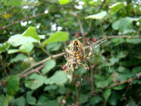frightful: Spider Araneus guarding berry bush on Lovchen mountain