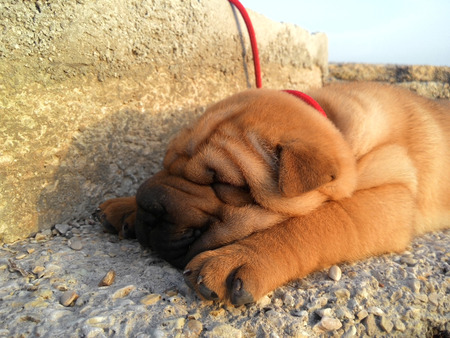 sharpei: Red sharpei puppy sleep on the beach in Herceg Novi, Montenegro Stock Photo