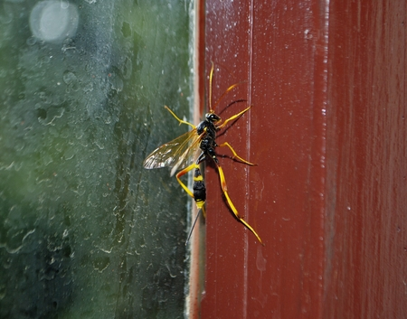 parasitic: Parasitic wasp Gasteruption jaculator is sitting on the window