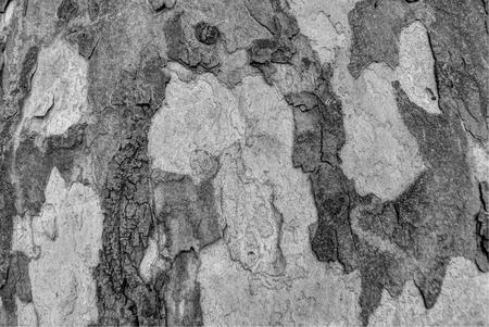 sicomoro: texture o sfondo di corteccia di albero di sicomoro grigio