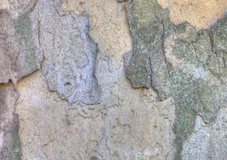 sicomoro: Texture o di sfondo di corteccia di albero di sicomoro
