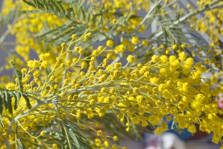 blossoming yellow flower tree: Blossoming branches of mimosa on blue sky background.
