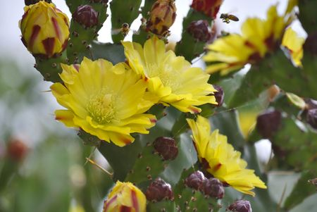 opuntia: Yellow flowers of blooming prickly  pear (opuntia).