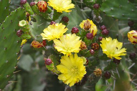 prickly flowers: Yellow flowers of blooming prickly  pear (opuntia).