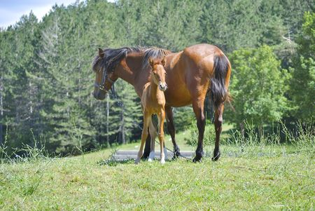 Brown horse with its foal in a meadow.