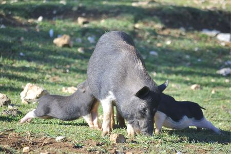 Domestic pig with its little feeding piglets