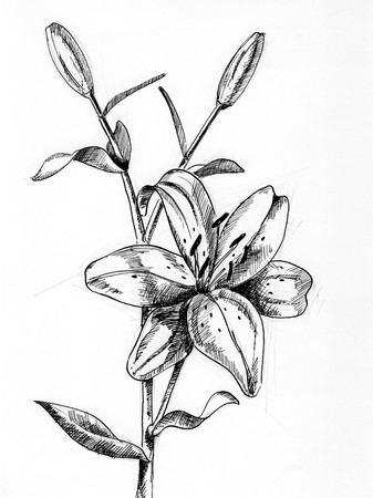 Lilly 2 - A single flower drawing with pen and ink Stok Fotoğraf