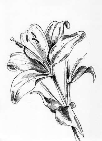 crosshatching: Lilly 1 - A single flower drawing with pen and ink Stock Photo