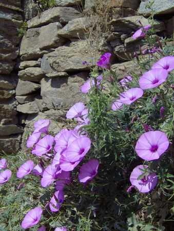 Purple flowers and rocks 3