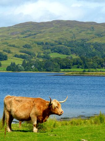 Highland cow near a Scottisch Loch, Scotland, United Kingdom