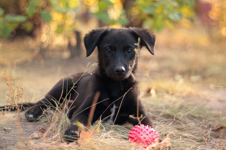 Nice little puppy outdoors in autumn with a rubber ball surrounded by leaves