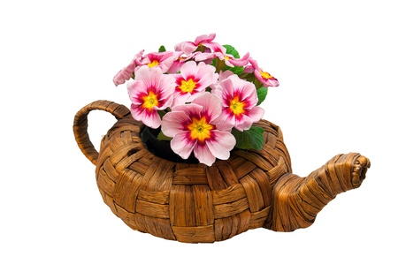 cowslip: Bright and fresh primula flowers in a wicker teapot Stock Photo