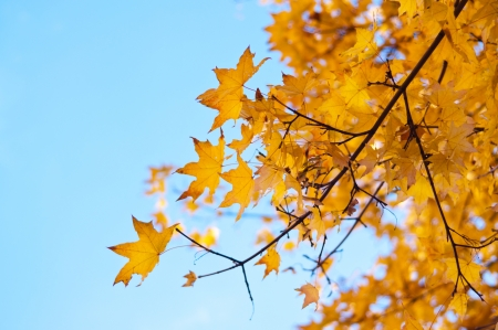 Yellow autumn leaves on a maple tree against bright blue sky photo