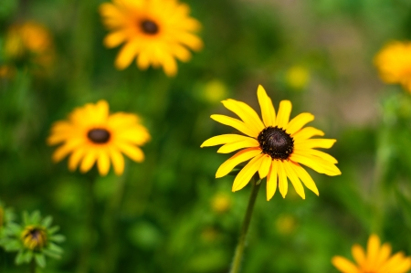 Bright yellow flower on green background on a sunny summer day. Focus on a flower on the right photo