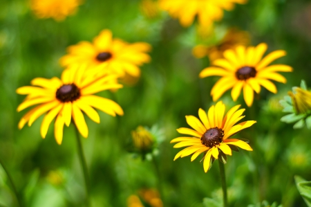 Bright yellow flowers against green background on a sunny day. Focus on a flower