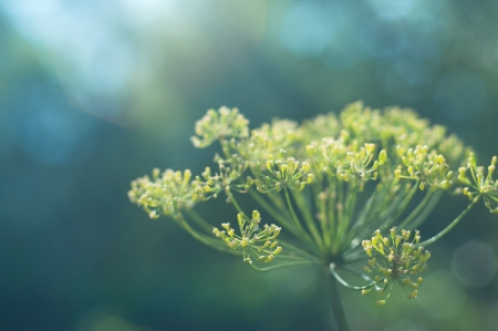 Dill flower against blue green background  Focus on front blossom photo