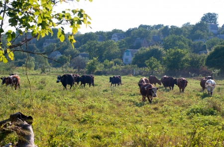 Herd of brown and black cows pasture in the meadow Stock Photo