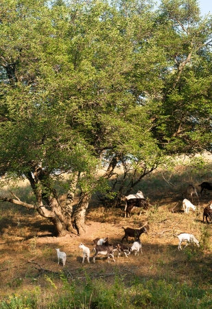 Herd of white and brown goats walking and pasturing near a big tree during summer photo