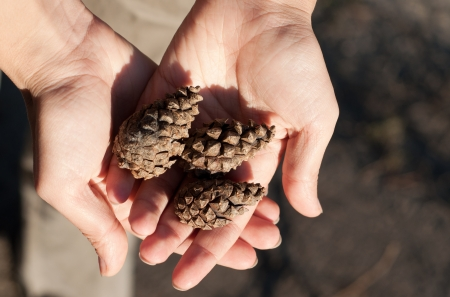 pine three: Three brown pine cones lying in human hands against abstract background. Copy space on the right