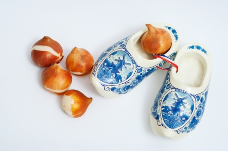Still life made of group of beautiful ready to be plant four tulip bulbs and one in traditional Holland clogs on white background. Copy space