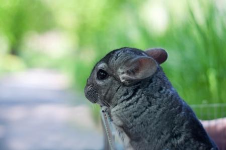 Profile portrait of fluffy cute gray young chinchilla 版權商用圖片