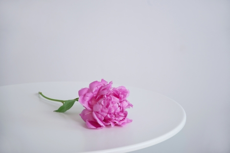 Single peony flower lying on a white table