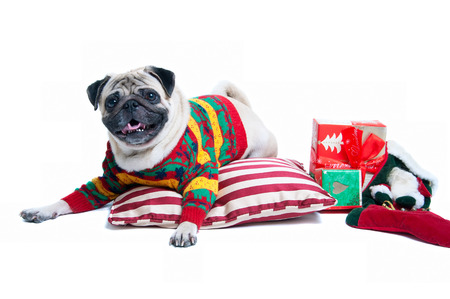 Funny, cute and playful pug dog pet wearing warm wollen knitted sweater, lying on the cushion, Christmas presents round it, smiling with toothy smile, looking at camera. Isolated on white background photo