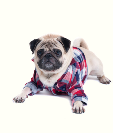 Funny cute pug dog pet wearing squared pattern shirt, lying on the floor, looking at camera. Isolated on white background Stock Photo