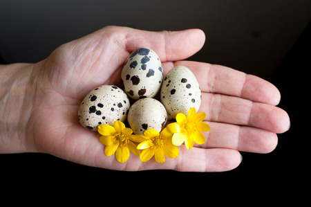 Fresh quail eggs with yellow flowers on a female palm photo