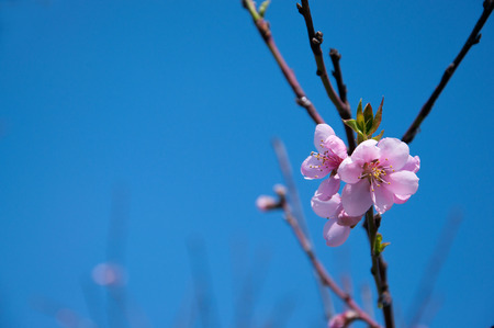 Blossoming spring peach tree flowers against bright blue sky. Copy space photo