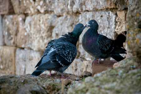 Two pigeons kissing on the brick wall. Happy Valentines Day mood. Stock Photo