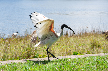 water wings: Black and white ibis walking on the pavvement among green grass, waving wings. Against blue water pond background Stock Photo