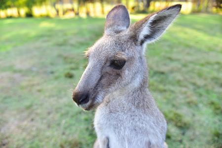 Closeup portriat of curious wild grey kangaroo during sunset