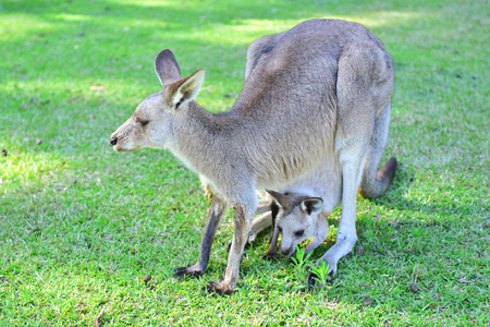 Wild grey kangaroo mother with her baby in a pouch during sunset