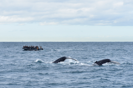 Two humpback whales in wildlife swimming in the ocean and jumping with tail up during seasonal migration, a boat with people at the background watching an animal