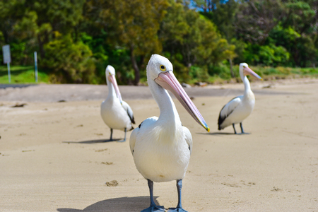 Beautiful family of white pelicans on the beach on a sunny day Stock Photo