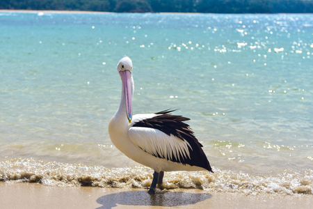 Beautiful curious white pelican on the beach on a sunny day Stock Photo