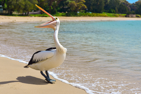 Beautiful curious white pelican opening his mouth on the beach on a sunny day