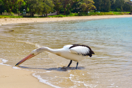 Beautiful curious white pelican picking up some food from water on the beach on a sunny day